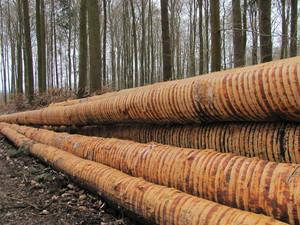 Dieter_geschälte Bäume 1