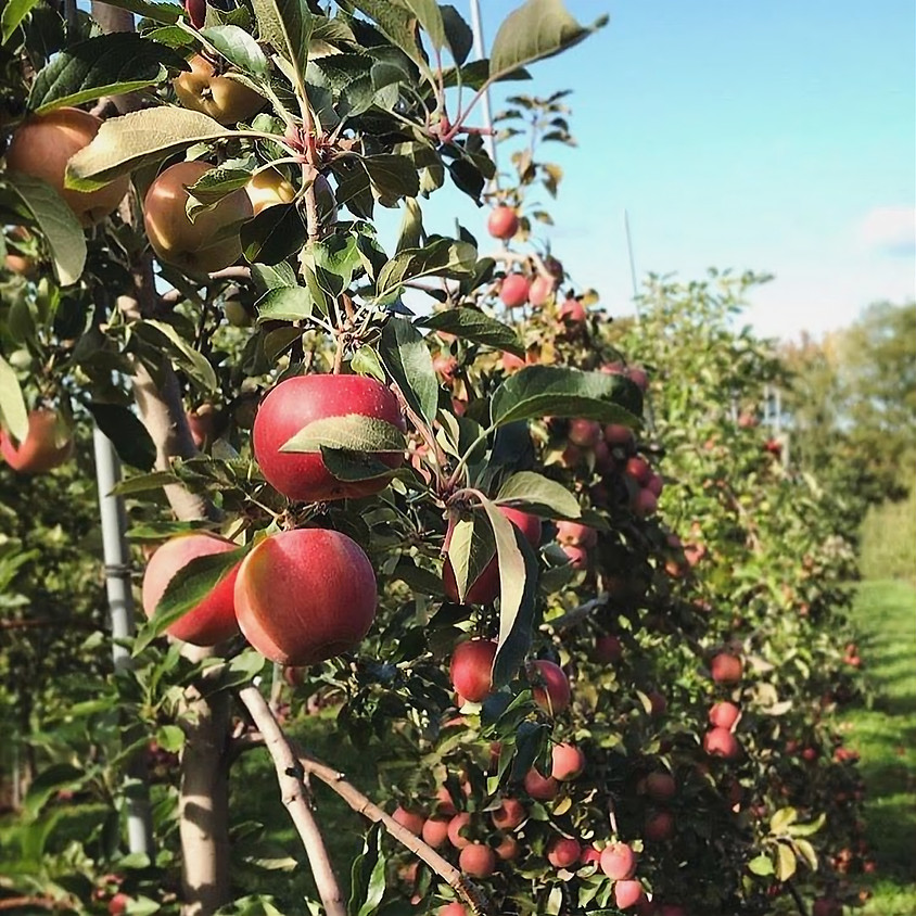 Pick Your Own Apples, Wed. 9/9