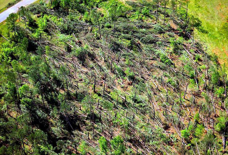 Forest blowdown closeup