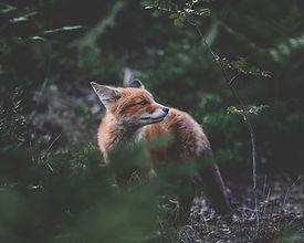 Fuxx Spirits - Schwarzwald Fuchs