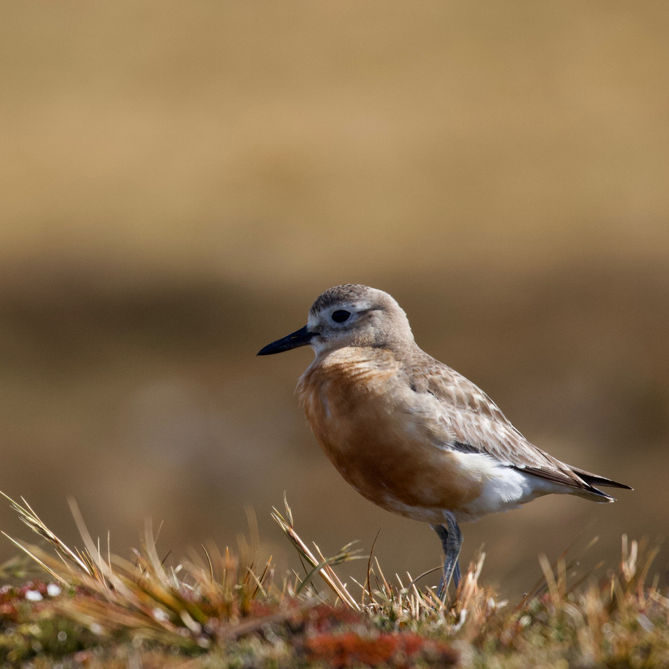 Beating the Odds | To save the Southern NZ Dotterels | 12 mins
