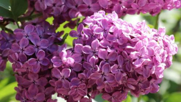 Doublure Lilas