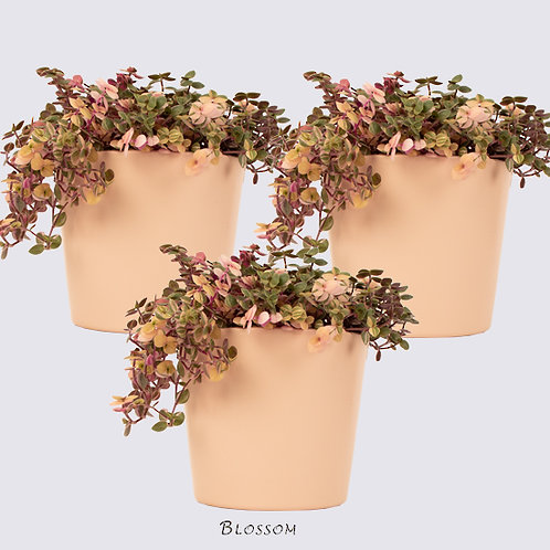 Sweet Bubbles Plant and Ceramic Pot