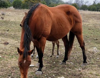 Shine On Pep bay aqha quarter horse mare