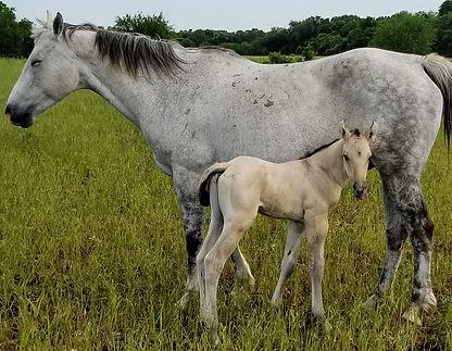 2019 colt aqha quarter horse Frostys San