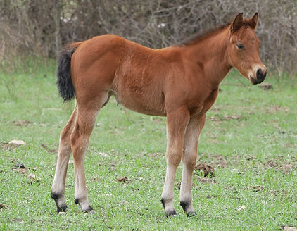 Glo Doc Doll Hollyshinin aqha bay filly