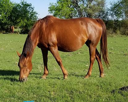 Flirting Like Lena 2003 sorrel mare quarter horse aqha nfqha