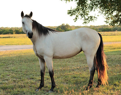 Silver Holly Shine buckskin mare Moodys