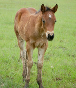 Shinin Poco Drago Moodys Quarter Horses