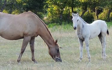 Buckskin quarter horse colt foal red roan dam