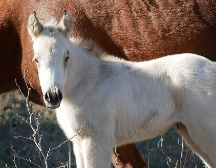Robyns-Lil-Breeze-aqha-buckskin-filly-mo