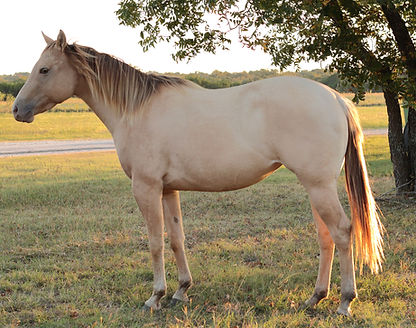 Baby Doll Whiz champagne dun mare Moodys