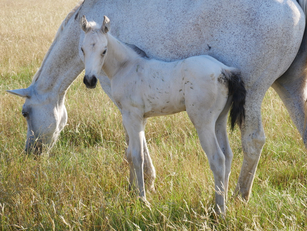 Buckskin filly quarter horse Hollyshinin