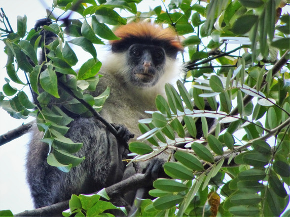 Iringa red colobus monkey
