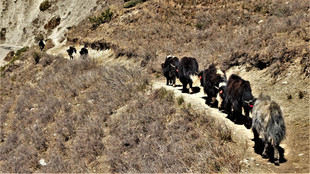 Yaks on the path