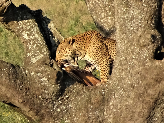 The leopard snacking on his kill