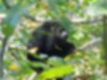 semuc champey guatemala monkey