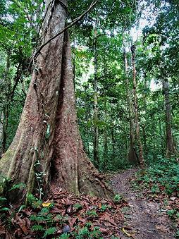 kokoda trail, track, papua new guinea, mountain, jungle, trek, hike, tree