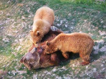 bern, bears, switzerland