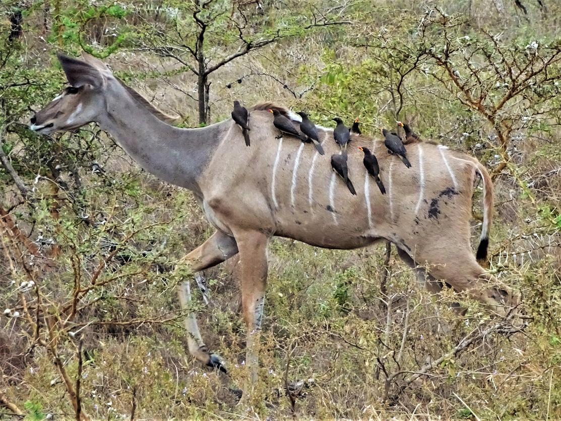 Hitching a ride on a kudu