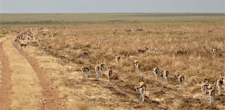 Thousands of gazelles