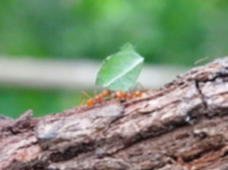 leafcutter ants Monteverde costa rica