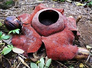 Rafflesia flower, cameron highlands, malaysia