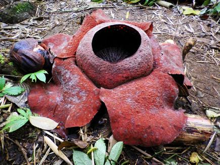 Rafflesia flower trek