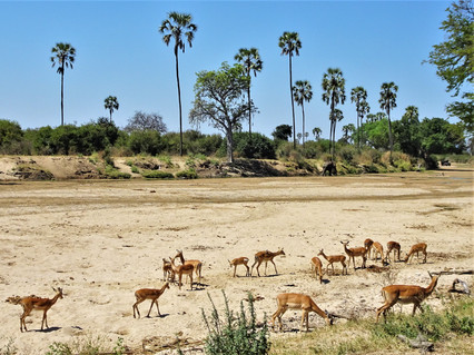 Impala on the riverbed