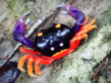 crab manuel antonio costa rica