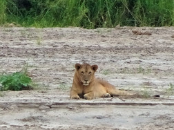 Female lion, as seen through the ultra-zoom