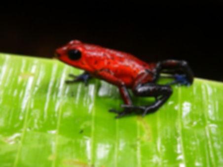 blue jeans frog tortuguero costa rica