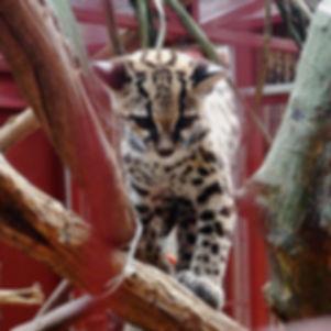 puma jaguar rescue centre puerto viejo de talamanca costa rica