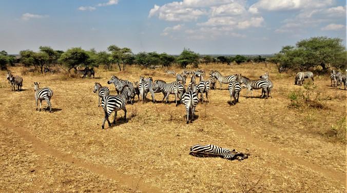 Zebra forum