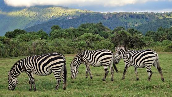 Zebras at the campsite