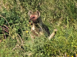 The hyena watches on