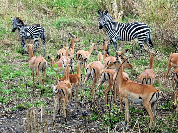 Zebra and impala, hanging out by the highway