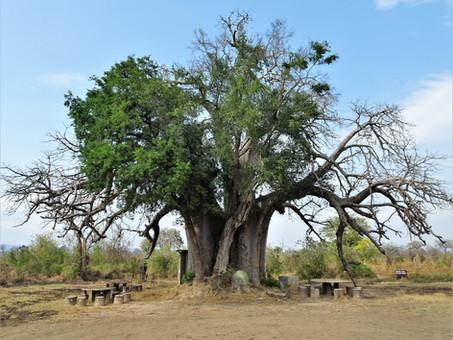 A rare leafy baobab
