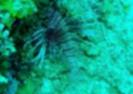 lionfish, diving, montego bay, jamaica
