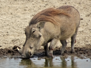 Warthog. Look at that hair!