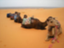sahara desert, morocco, camels