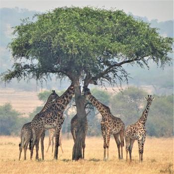Sunsmart giraffes