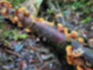 kokoda, track, trail, papua new guinea, hike, trek, mountain, jungle, mushroom, fungi