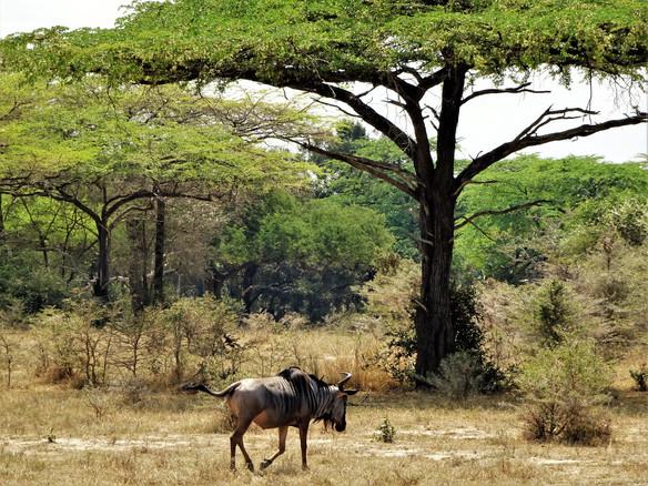 Lonely wildebeest