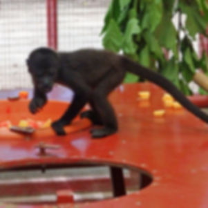 monkey  jaguar rescue centre puerto viejo de talamanca costa rica