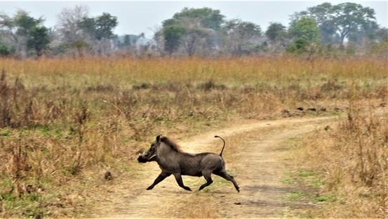 The prancing warthog