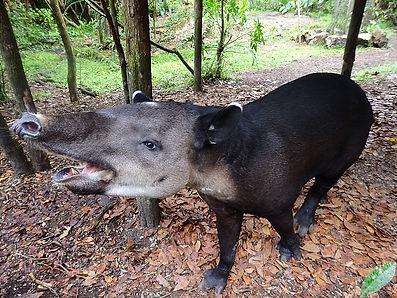 tapir belize zoo