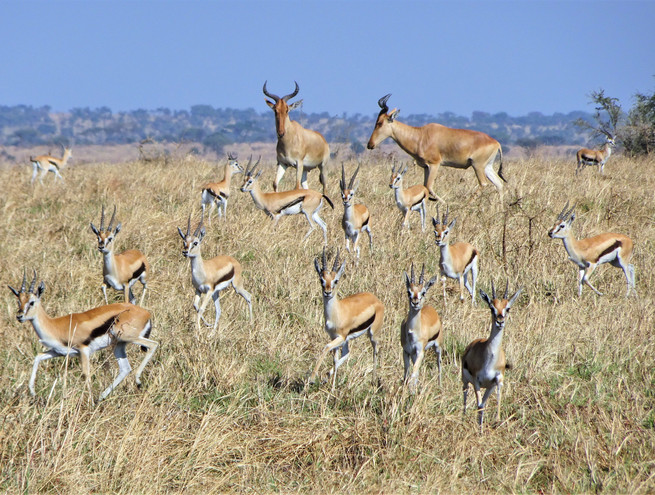 Gazelles and hartebeest