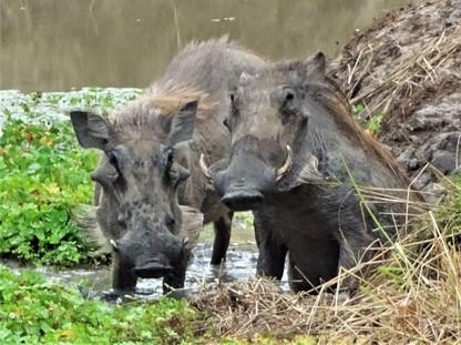 Warthogs taking a bath