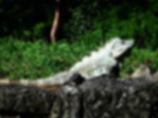 palenque mexico lizard